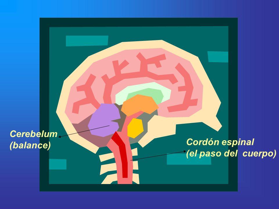 Cerebelum (balance) Cordón espinal (el paso del cuerpo)