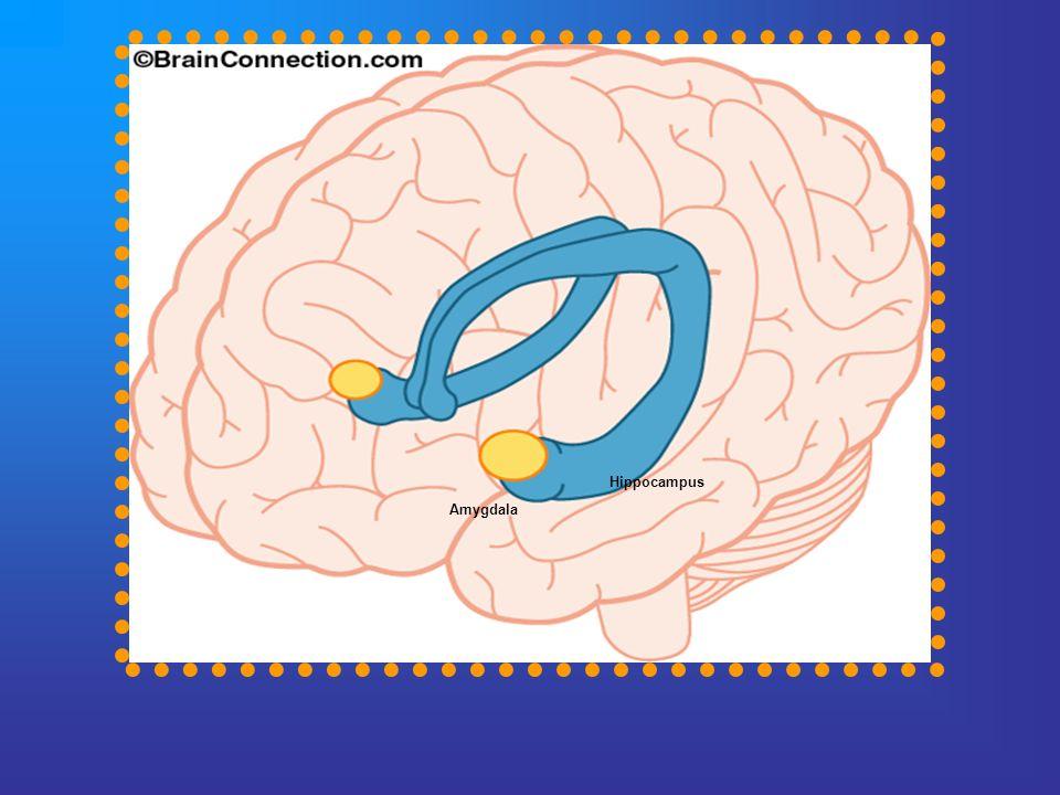 Hippocampus Amygdala