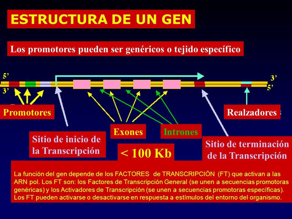 ESTRUCTURA DE UN GEN < 100 Kb Promotores Exones Sitio de inicio de