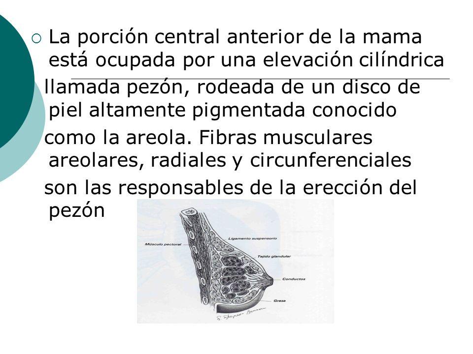La porción central anterior de la mama está ocupada por una elevación cilíndrica