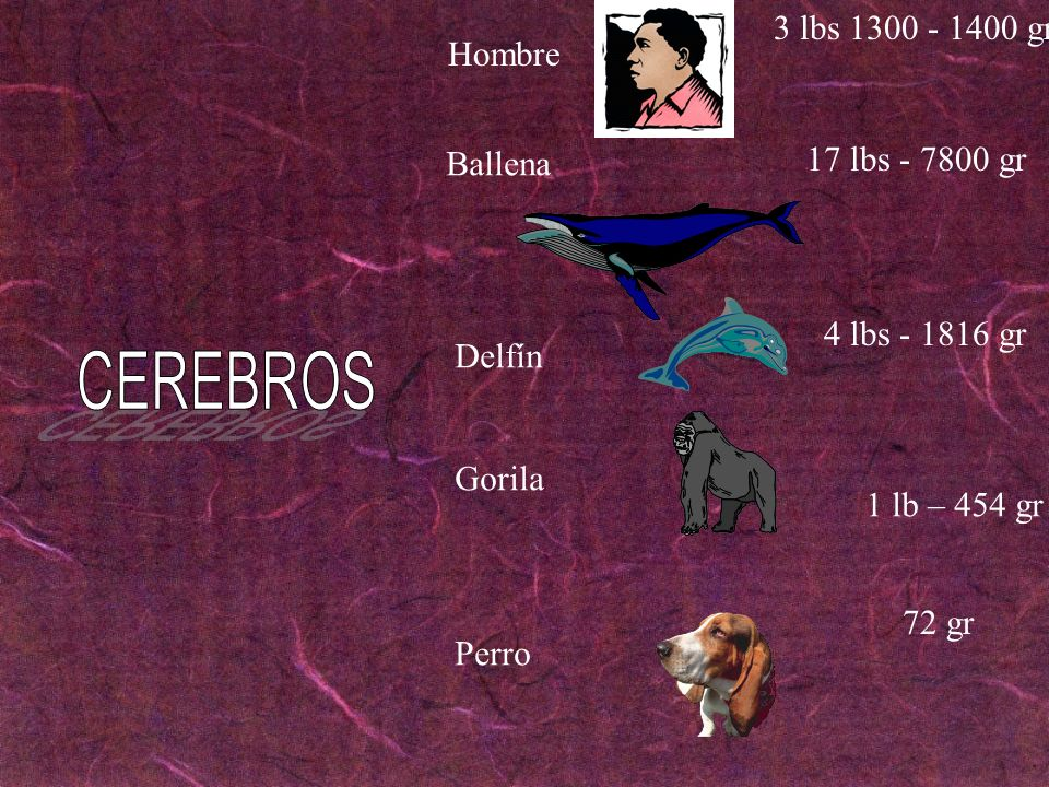 CEREBROS 3 lbs 1300 - 1400 gr Hombre 17 lbs - 7800 gr Ballena