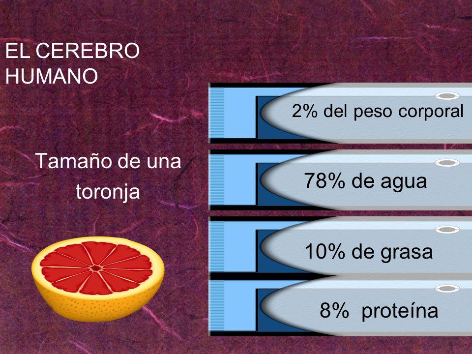 EL CEREBRO HUMANO Tamaño de una toronja 78% de agua 10% de grasa