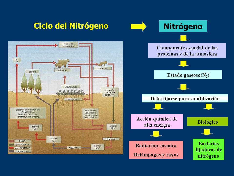 Ciclo del Nitrógeno Nitrógeno