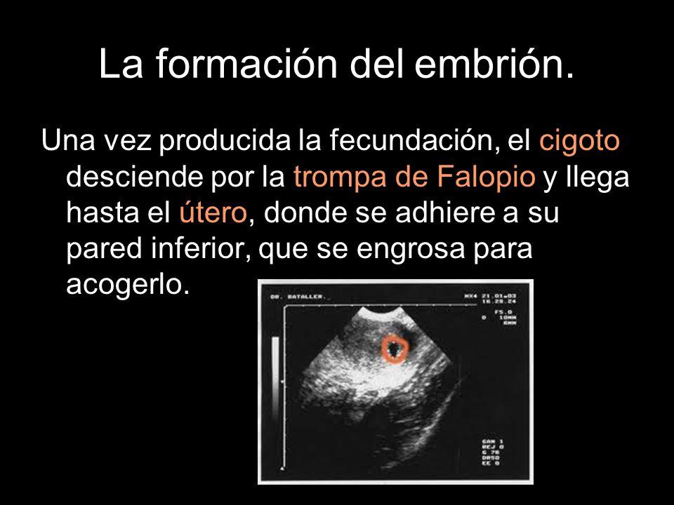 La formación del embrión.