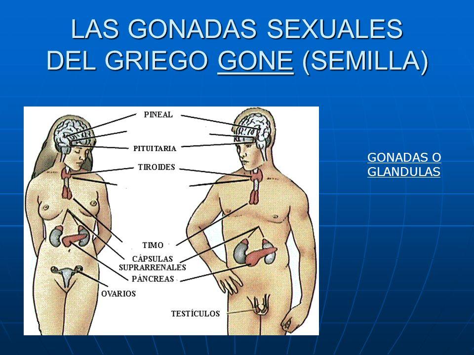 LAS GONADAS SEXUALES DEL GRIEGO GONE (SEMILLA)