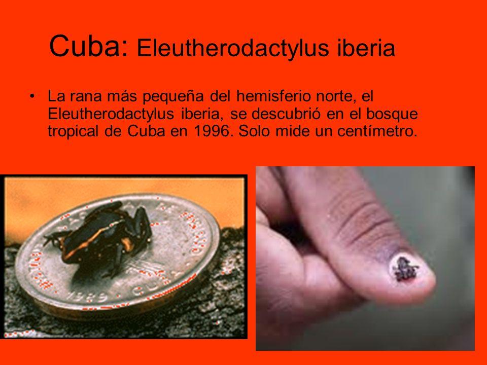 Cuba: Eleutherodactylus iberia
