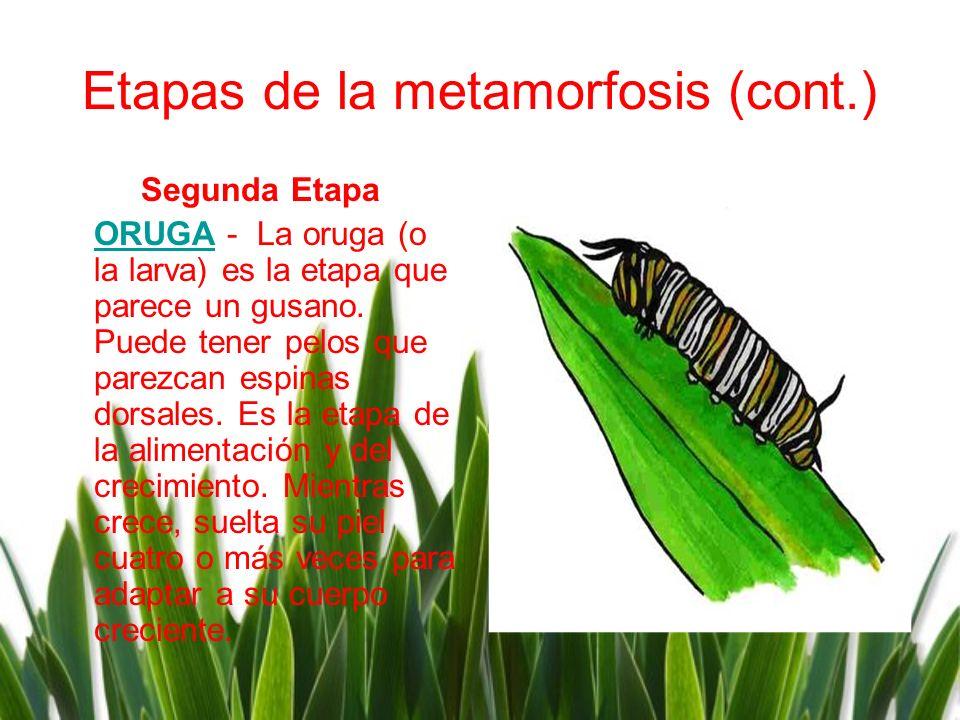 Etapas de la metamorfosis (cont.)