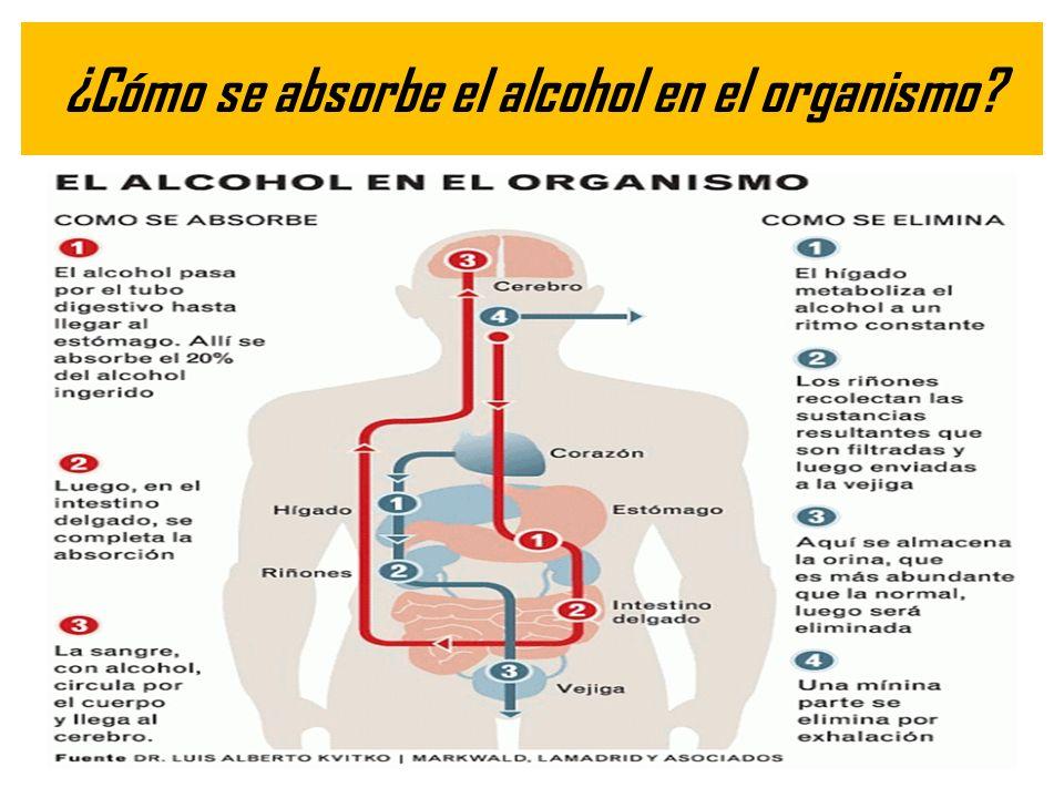 ¿Cómo se absorbe el alcohol en el organismo