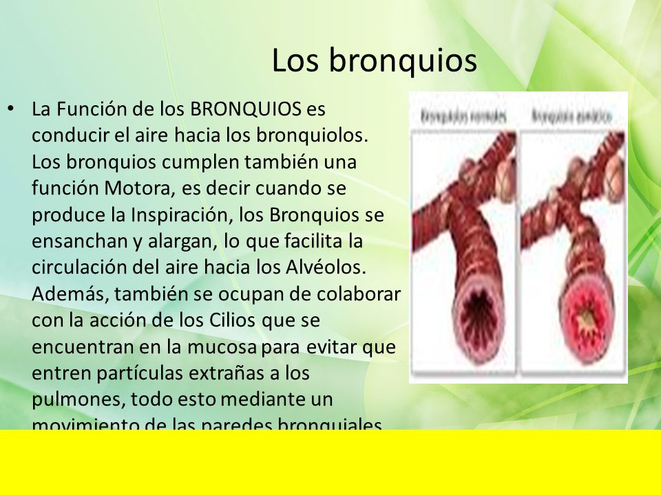 Los bronquios