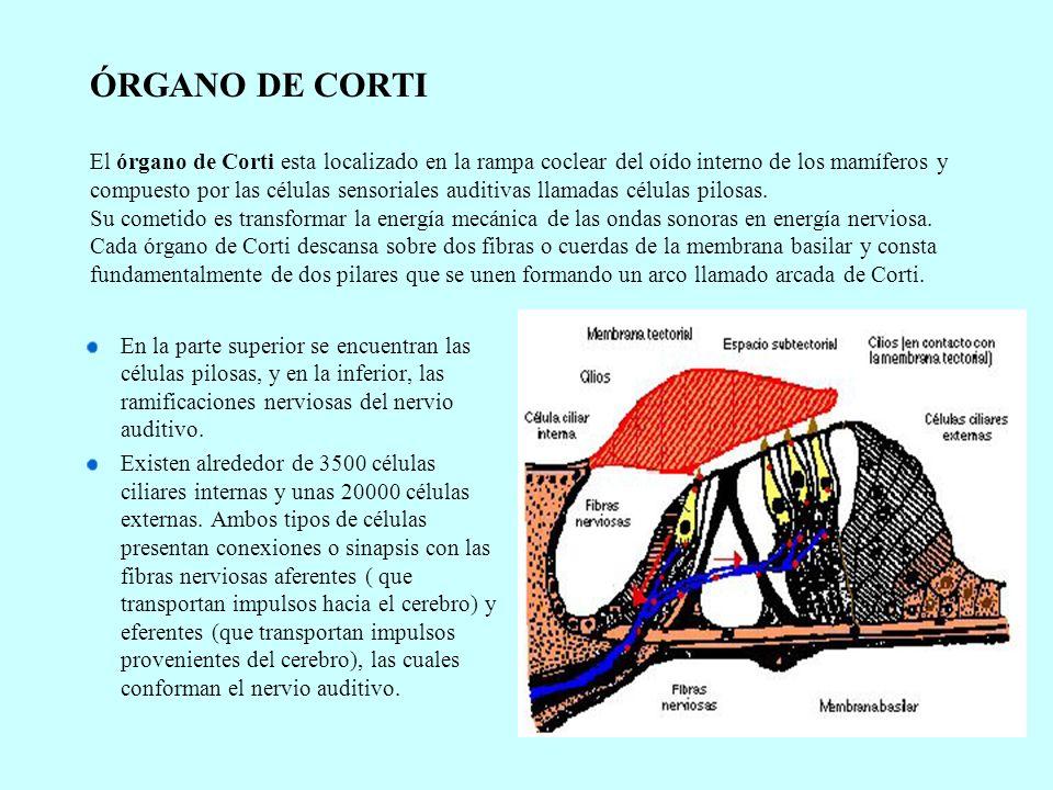 ÓRGANO DE CORTI El órgano de Corti esta localizado en la rampa coclear del oído interno de los mamíferos y compuesto por las células sensoriales auditivas llamadas células pilosas. Su cometido es transformar la energía mecánica de las ondas sonoras en energía nerviosa. Cada órgano de Corti descansa sobre dos fibras o cuerdas de la membrana basilar y consta fundamentalmente de dos pilares que se unen formando un arco llamado arcada de Corti.