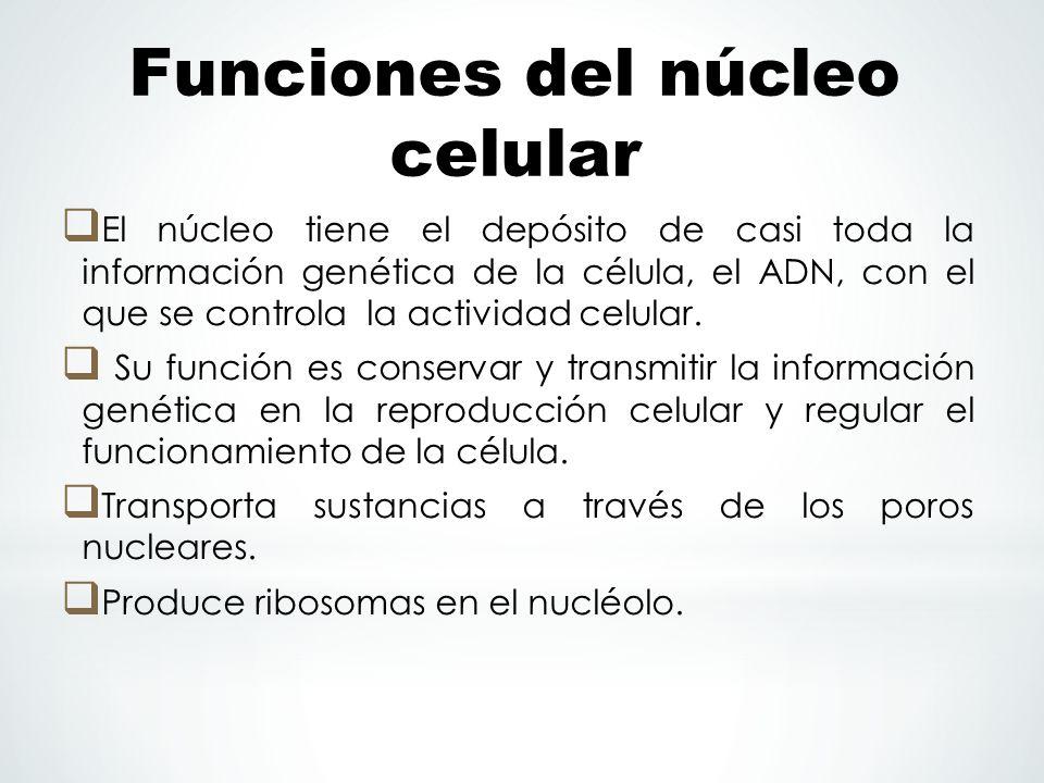 Funciones del núcleo celular