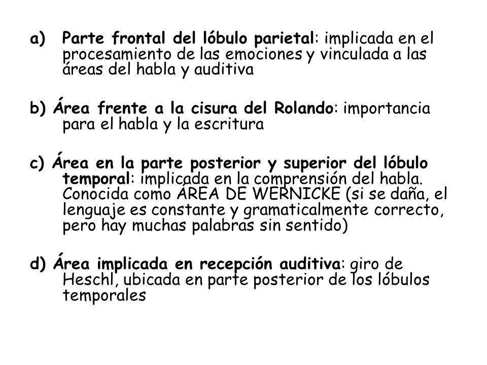 Parte frontal del lóbulo parietal: implicada en el procesamiento de las emociones y vinculada a las áreas del habla y auditiva