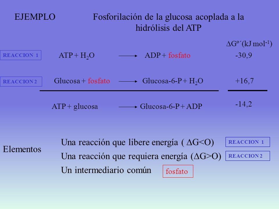 Fosforilación de la glucosa acoplada a la hidrólisis del ATP