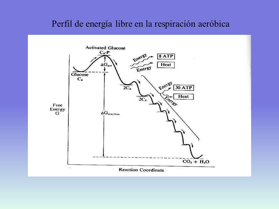 Perfil de energía libre en la respiración aeróbica