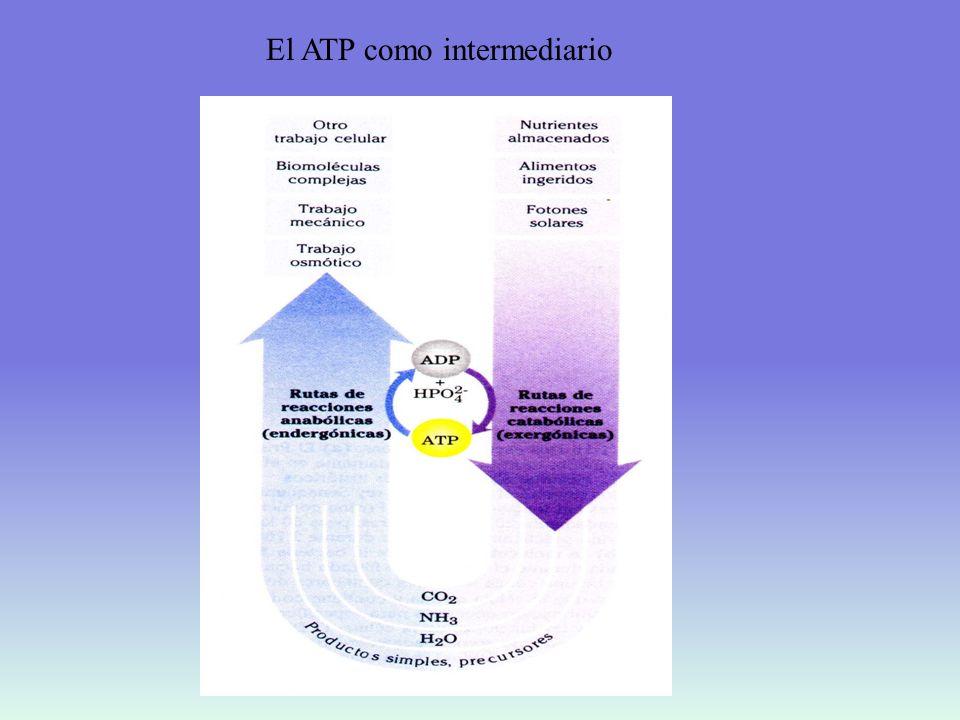 El ATP como intermediario