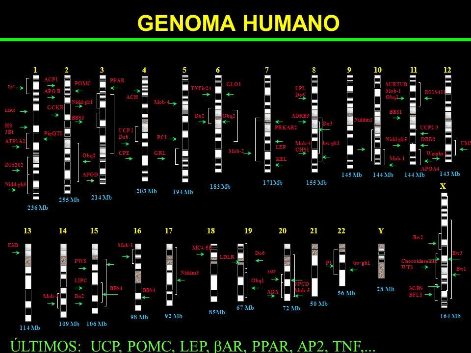 GENOMA HUMANO ÚLTIMOS: UCP, POMC, LEP, AR, PPAR, AP2, TNF,... 1 4 6 7