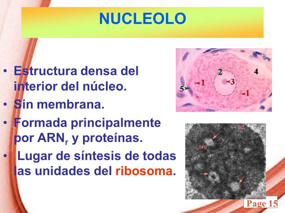 NUCLEOLO Estructura densa del interior del núcleo. Sin membrana.