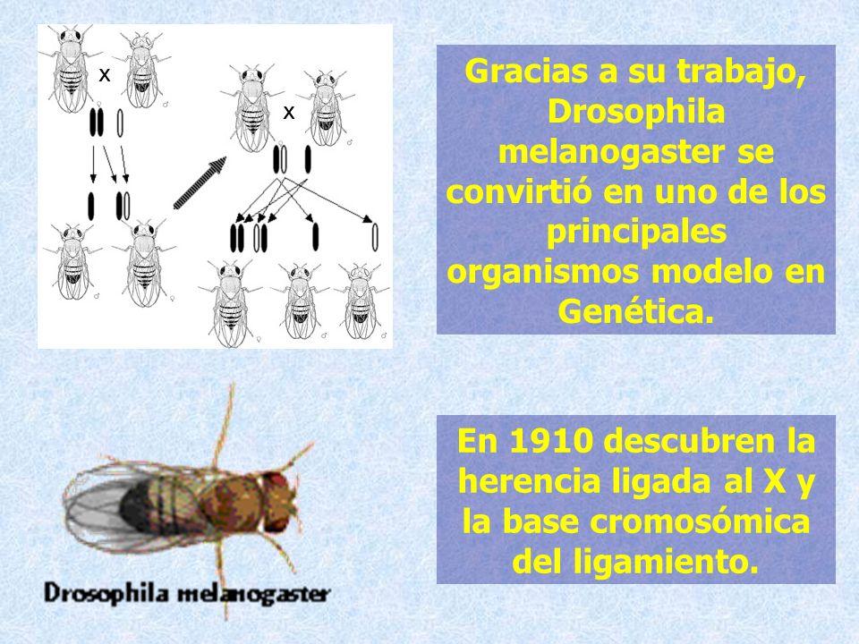 Gracias a su trabajo, Drosophila melanogaster se convirtió en uno de los principales organismos modelo en Genética.