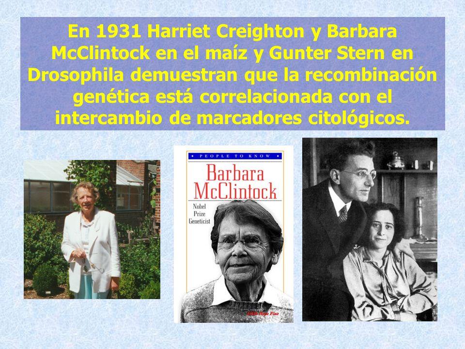 En 1931 Harriet Creighton y Barbara McClintock en el maíz y Gunter Stern en Drosophila demuestran que la recombinación genética está correlacionada con el intercambio de marcadores citológicos.