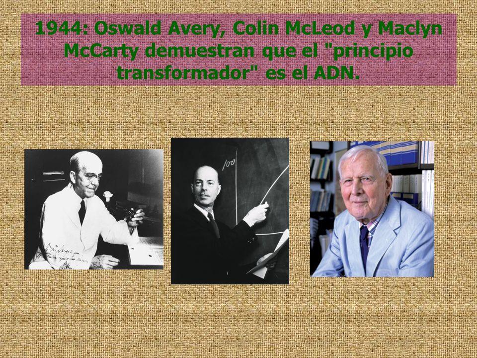 1944: Oswald Avery, Colin McLeod y Maclyn McCarty demuestran que el principio transformador es el ADN.