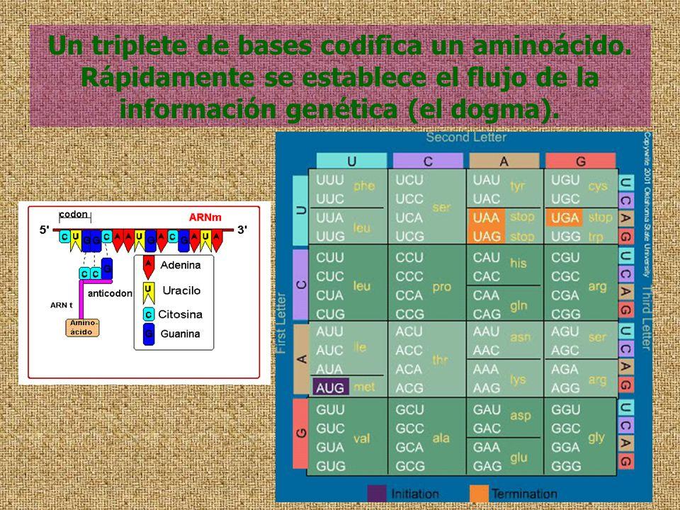 Un triplete de bases codifica un aminoácido