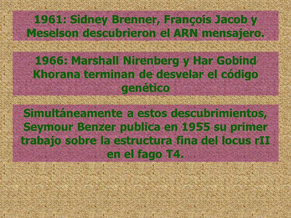 1961: Sidney Brenner, François Jacob y Meselson descubrieron el ARN mensajero.