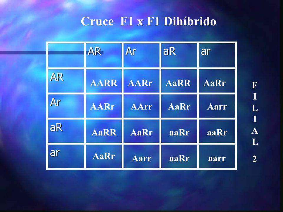 Cruce F1 x F1 Dihíbrido AR Ar aR ar AARR AARr AaRR AaRr FILIAL 2 AARr