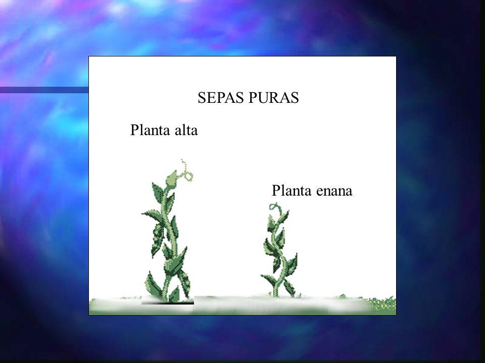 SEPAS PURAS Planta alta Planta enana
