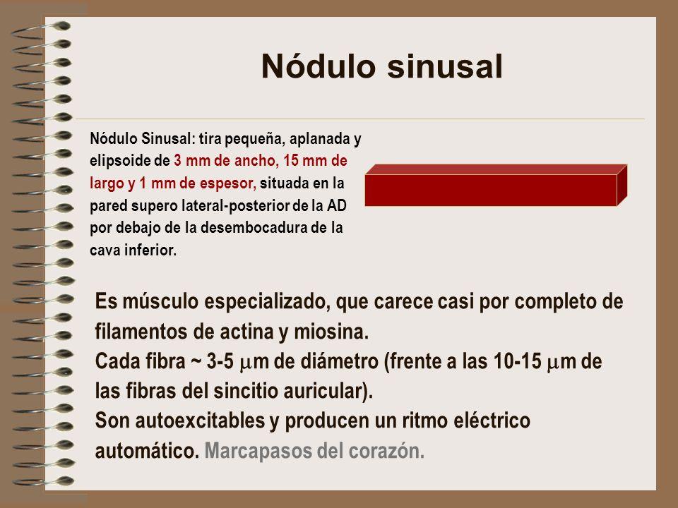Nódulo sinusal Nódulo Sinusal: tira pequeña, aplanada y. elipsoide de 3 mm de ancho, 15 mm de. largo y 1 mm de espesor, situada en la.