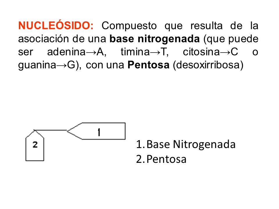 Base Nitrogenada Pentosa