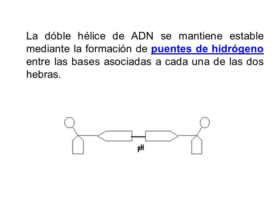 La dóble hélice de ADN se mantiene estable mediante la formación de puentes de hidrógeno entre las bases asociadas a cada una de las dos hebras.