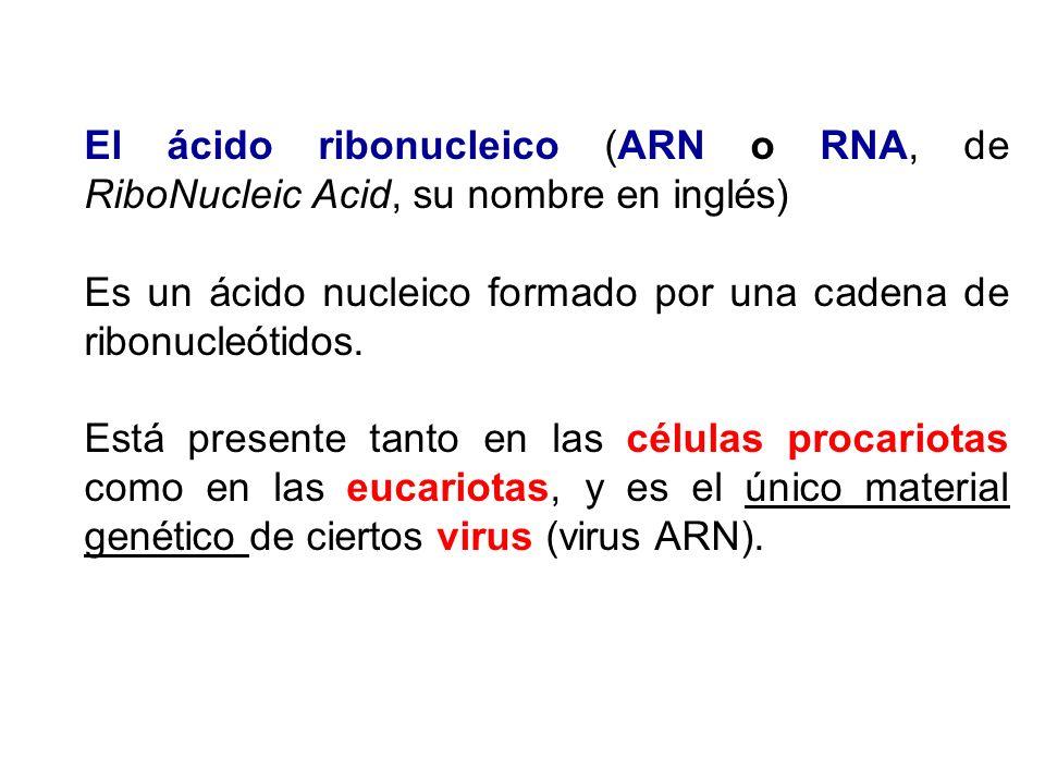 El ácido ribonucleico (ARN o RNA, de RiboNucleic Acid, su nombre en inglés)