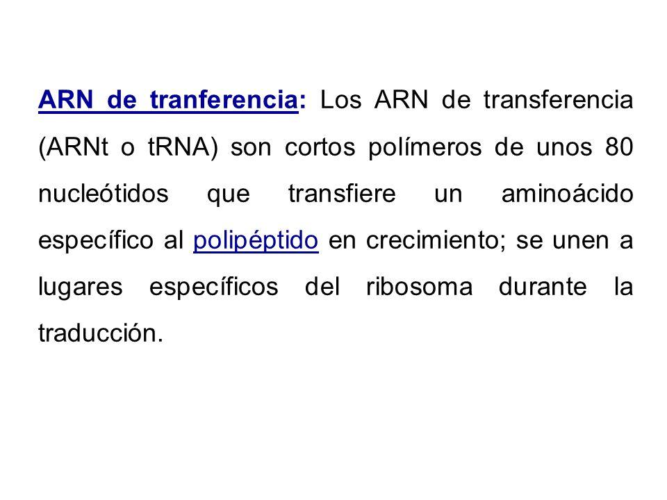 ARN de tranferencia: Los ARN de transferencia (ARNt o tRNA) son cortos polímeros de unos 80 nucleótidos que transfiere un aminoácido específico al polipéptido en crecimiento; se unen a lugares específicos del ribosoma durante la traducción.