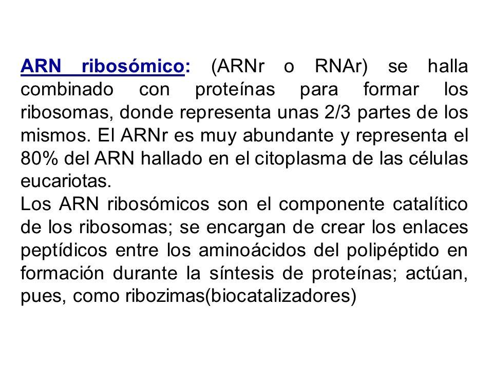 ARN ribosómico: (ARNr o RNAr) se halla combinado con proteínas para formar los ribosomas, donde representa unas 2/3 partes de los mismos. El ARNr es muy abundante y representa el 80% del ARN hallado en el citoplasma de las células eucariotas.