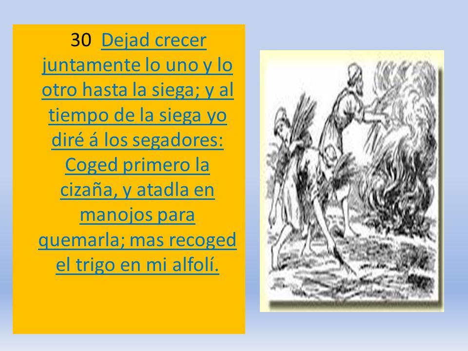 30 Dejad crecer juntamente lo uno y lo otro hasta la siega; y al tiempo de la siega yo diré á los segadores: Coged primero la cizaña, y atadla en manojos para quemarla; mas recoged el trigo en mi alfolí.