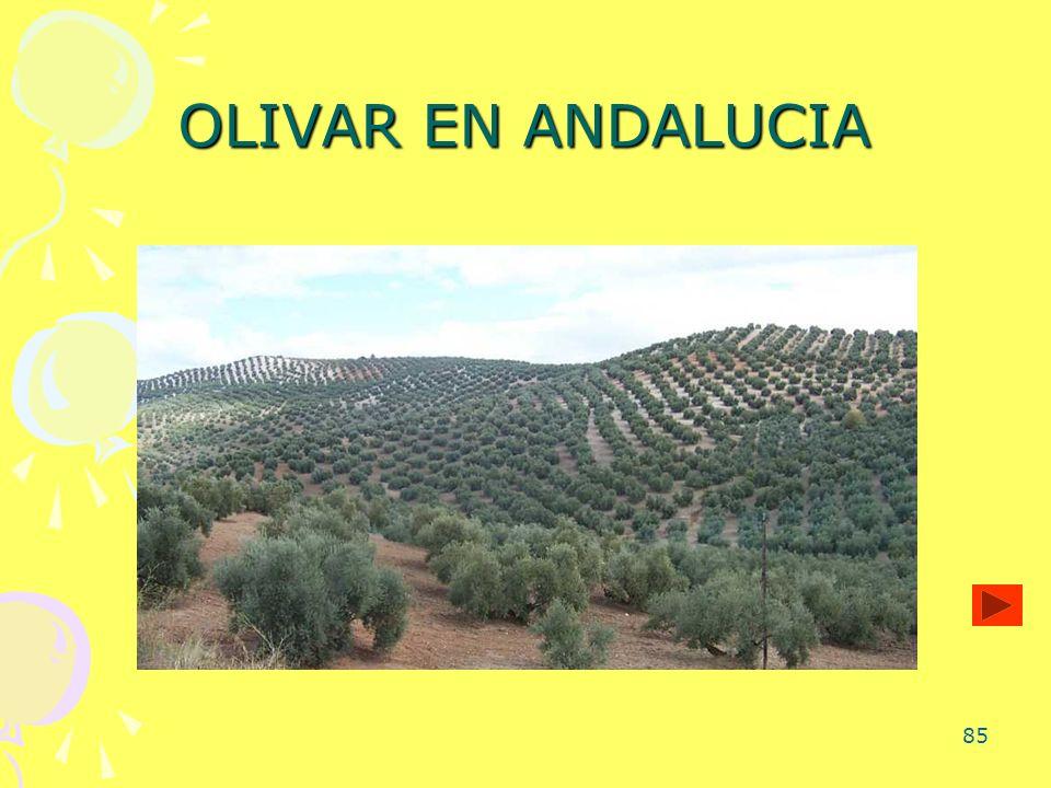 OLIVAR EN ANDALUCIA