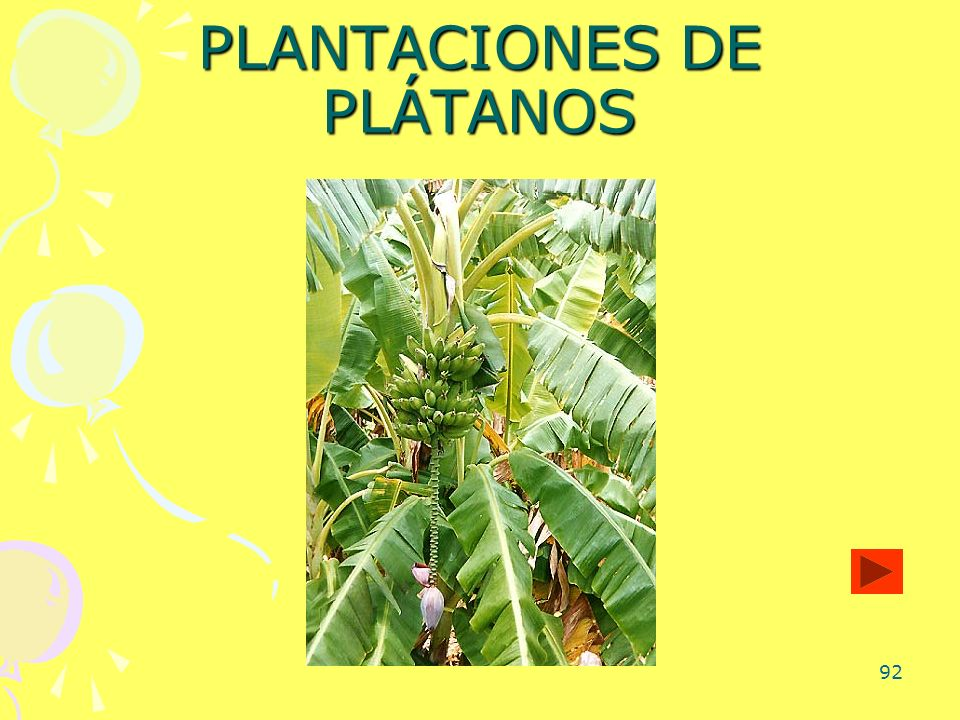 PLANTACIONES DE PLÁTANOS