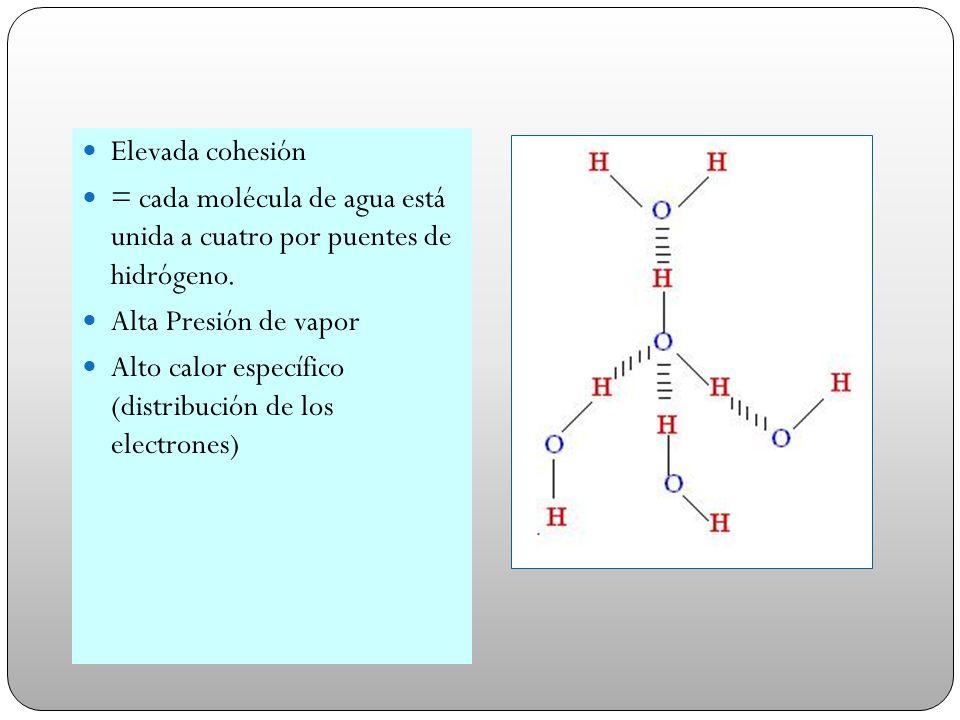Elevada cohesión = cada molécula de agua está unida a cuatro por puentes de hidrógeno. Alta Presión de vapor.