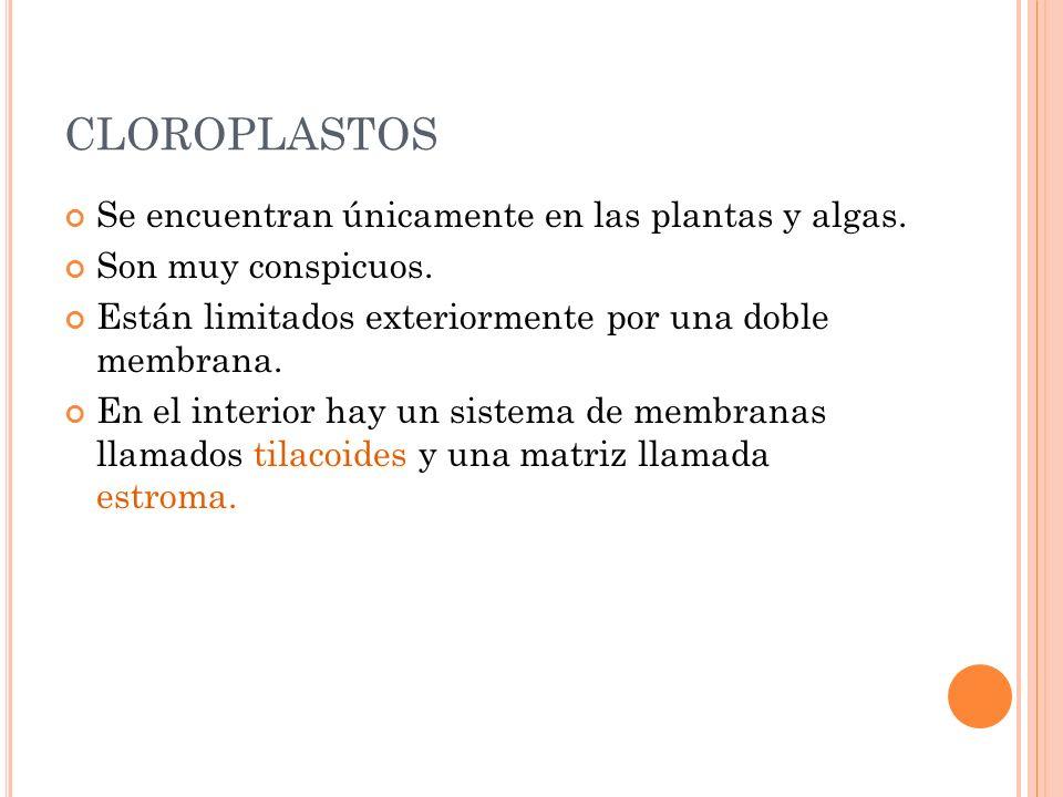 CLOROPLASTOS Se encuentran únicamente en las plantas y algas.