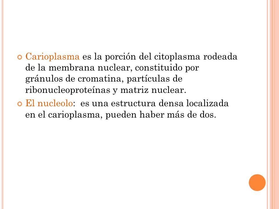 Carioplasma es la porción del citoplasma rodeada de la membrana nuclear, constituido por gránulos de cromatina, partículas de ribonucleoproteínas y matriz nuclear.