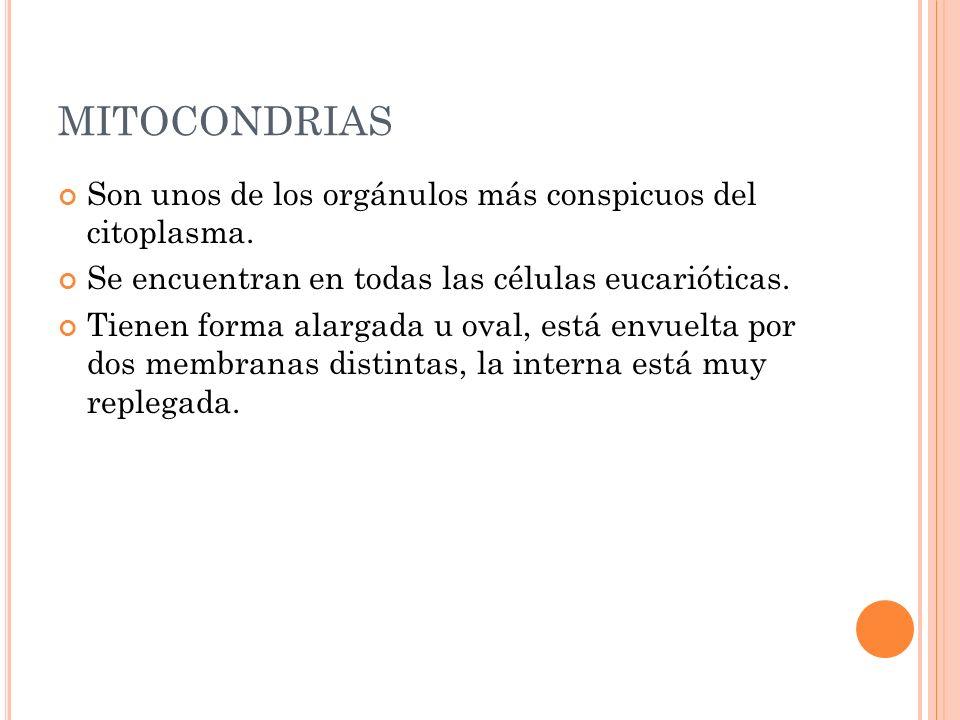 MITOCONDRIAS Son unos de los orgánulos más conspicuos del citoplasma.