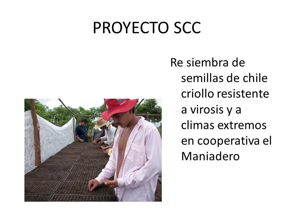 PROYECTO SCC Re siembra de semillas de chile criollo resistente a virosis y a climas extremos en cooperativa el Maniadero.