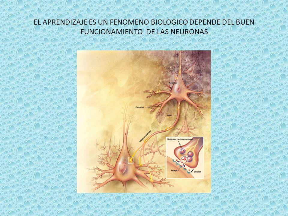 EL APRENDIZAJE ES UN FENOMENO BIOLOGICO DEPENDE DEL BUEN FUNCIONAMIENTO DE LAS NEURONAS