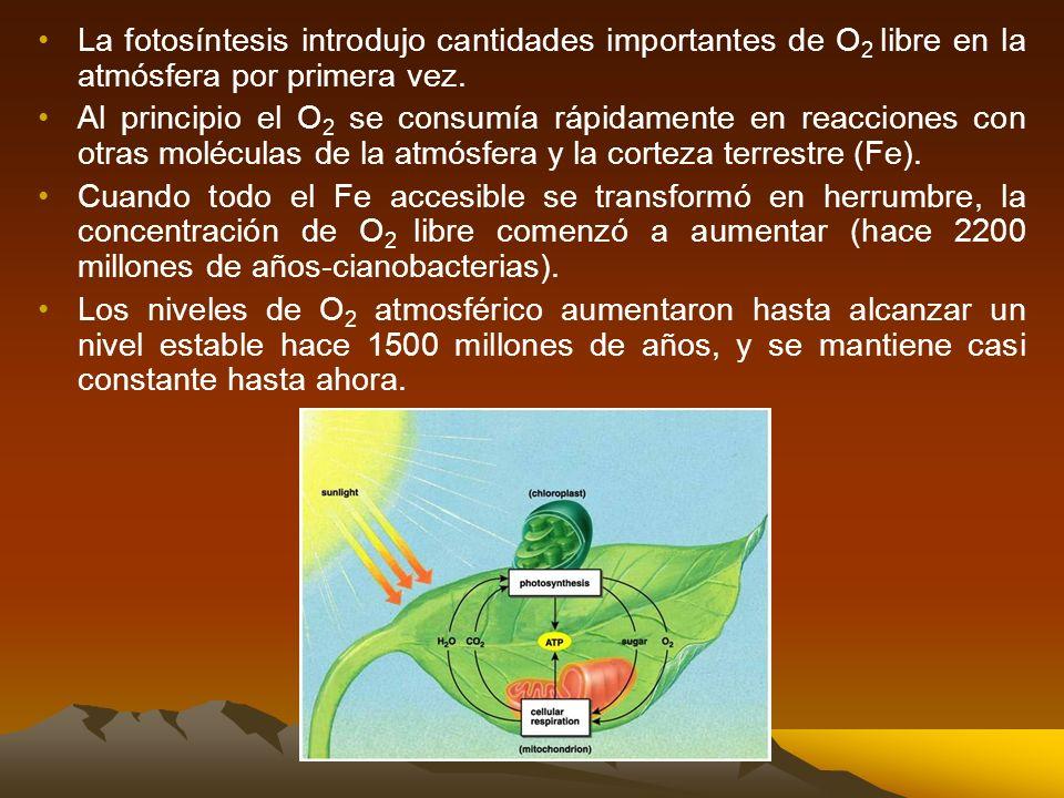 La fotosíntesis introdujo cantidades importantes de O2 libre en la atmósfera por primera vez.