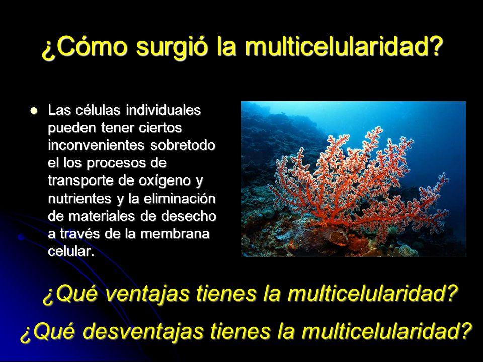 ¿Cómo surgió la multicelularidad