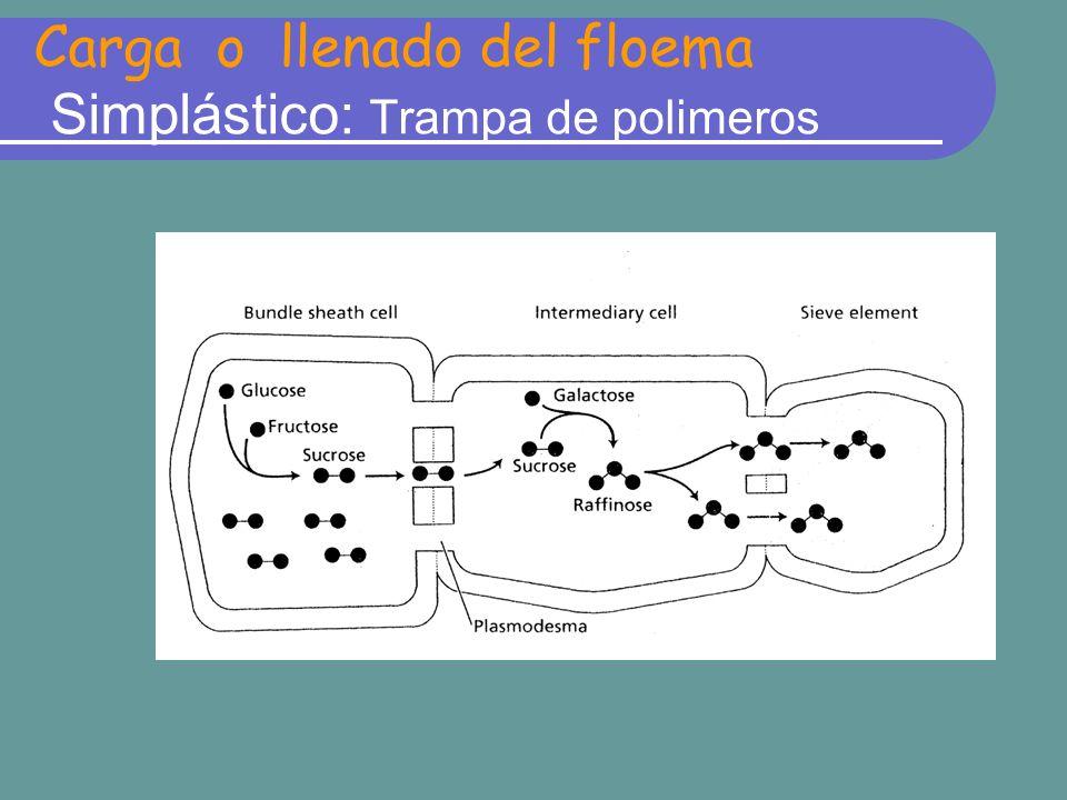 Carga o llenado del floema Simplástico: Trampa de polimeros