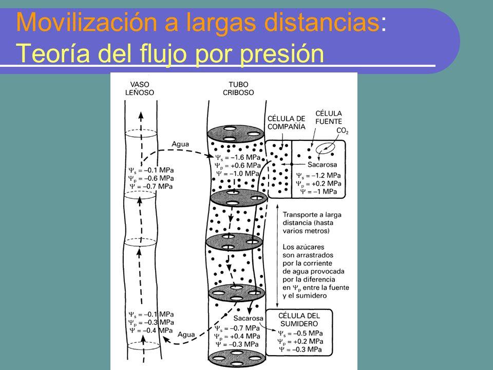 Movilización a largas distancias: Teoría del flujo por presión