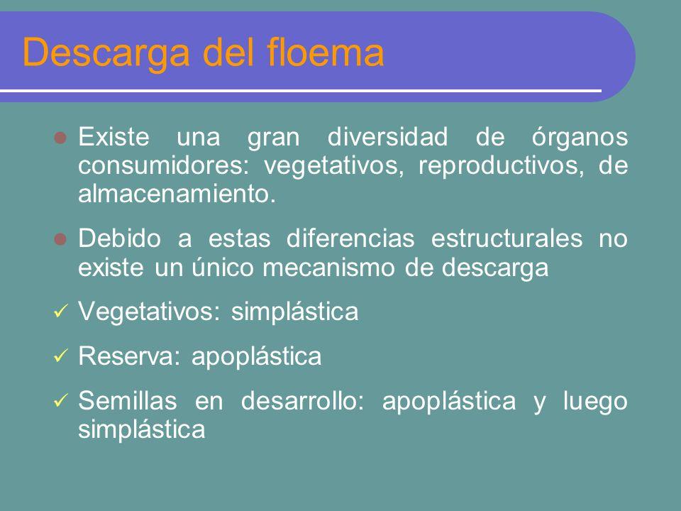 Descarga del floema Existe una gran diversidad de órganos consumidores: vegetativos, reproductivos, de almacenamiento.