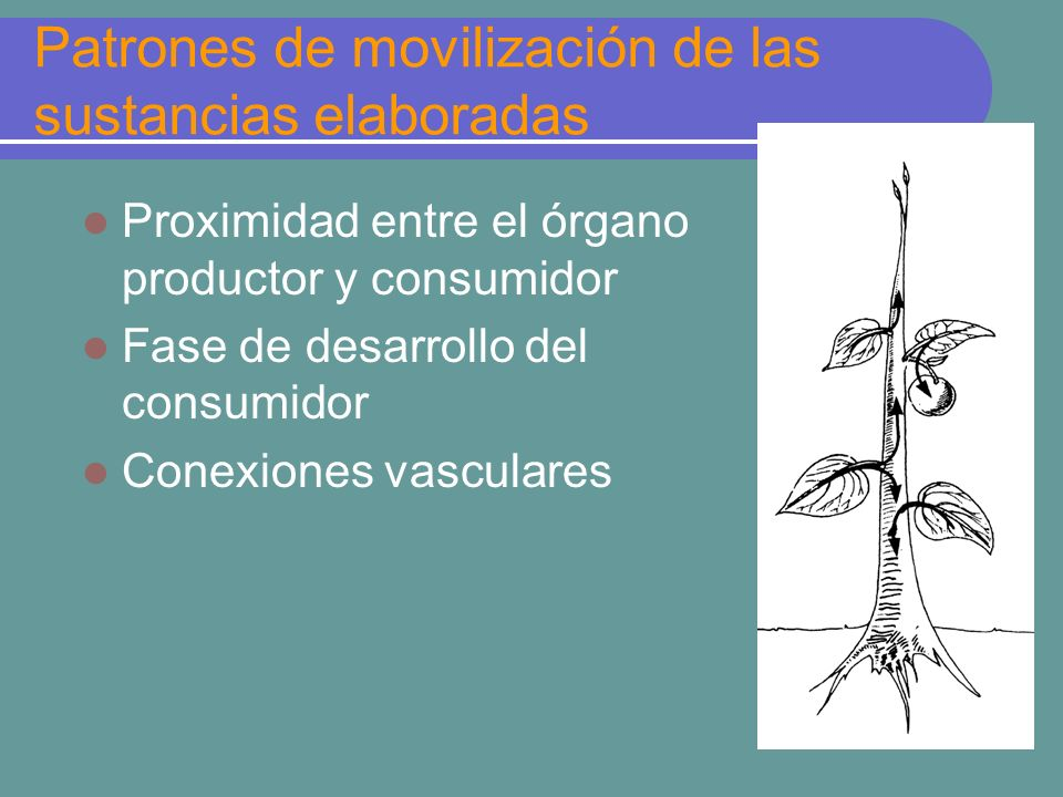 Patrones de movilización de las sustancias elaboradas