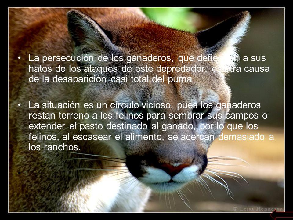 La persecución de los ganaderos, que defienden a sus hatos de los ataques de este depredador, es otra causa de la desaparición casi total del puma